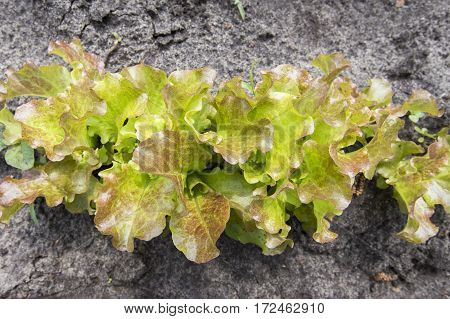 bed of young lettuce. horizontal shot. no people