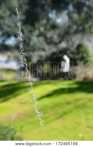 vertical shot of single Spanish moss strand