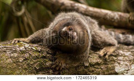 Brazilian monkey staring directly to the camera