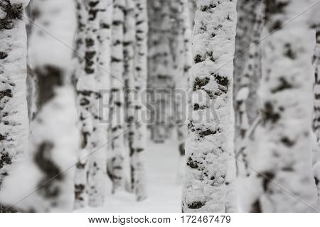 Birch forest trees covered in fresh snowfall