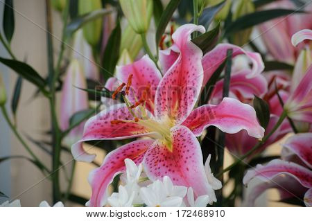 A speckled lily blooming in the garden