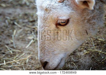 profile shot of gulf coast sheep left side
