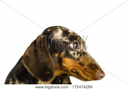 Short Marble Dachshund Dog, Hunting Dog, Isolated Over White Background, Close Up