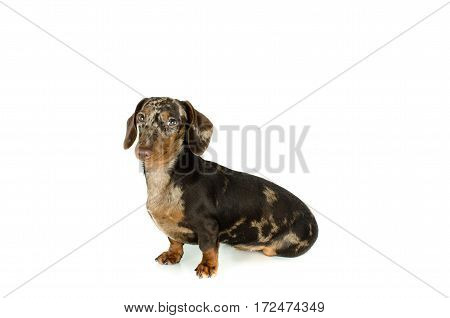 Short Marble Dachshund Dog Sit Is Looking Away, Hunting Dog, Isolated On White Background.