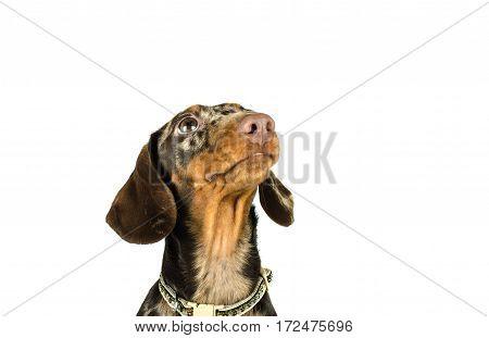 short marble Dachshund Dog looking up hunting dog isolated on white background.