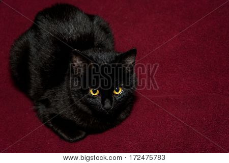 Black cat with gold eyes on a maroon blanket