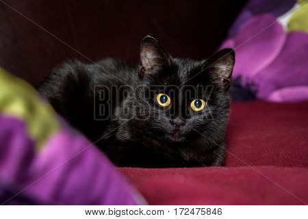 Black cat with gold eyes on a maroon blanket, with pillows