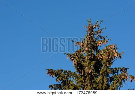 Sunlit evergreen treetop on a blue sky day