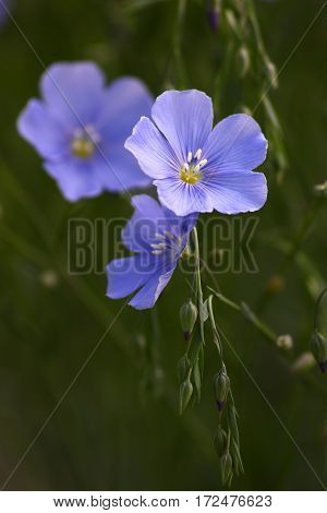 Blue flowers of decorative linum austriacum and its runaways on a green background.