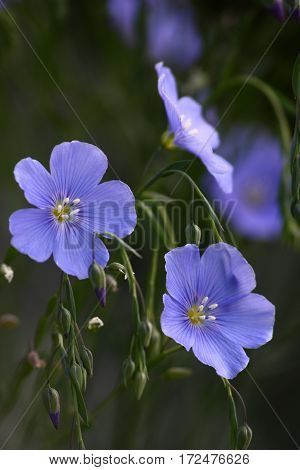 Blue flowers of decorative linum austriacum and its runaways on a grey background.