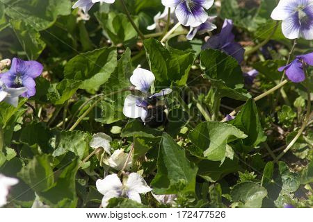 A bumble bee seeking pollen from a wild violet.
