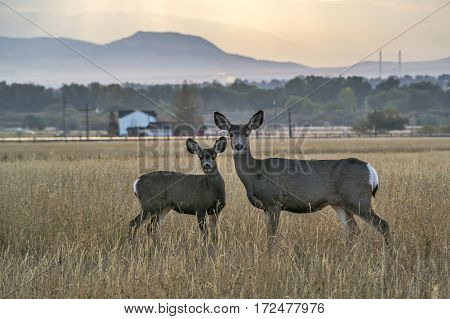 Mule deer (Odocoileus hemionus) backlit by the morning sun