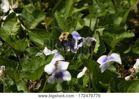 A bumble bee perched on a wild violet collecting pollen.