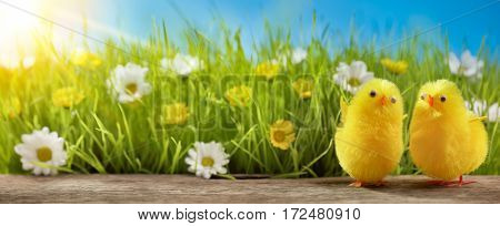 Yellow Easter chicks and spring flower in field