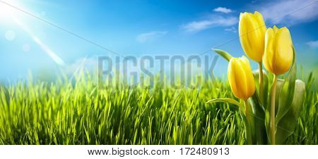 Spring tulips in the field,nature background