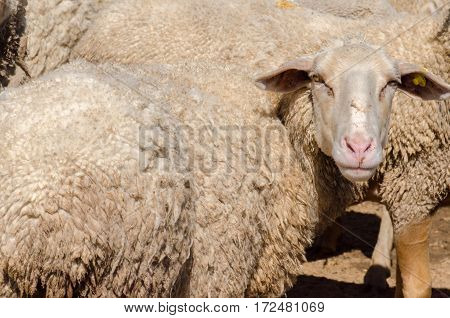 Sheep head. Sheeps at agriculture farm. Daylight