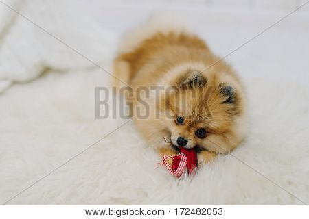 Fluffy pomeranian spitz plays with red bow on white carpet
