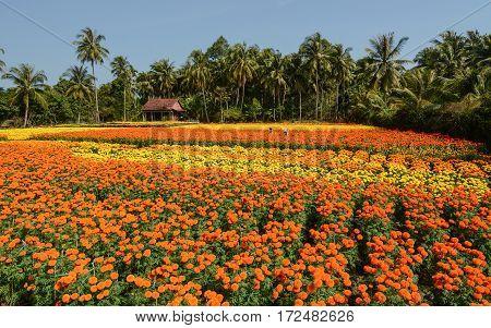 Flower Plantation At Sunny Day In Vietnam