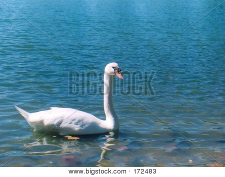 White Swan On Blue Lake