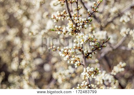 Wallpaper with blossoming of blackthorn in spring