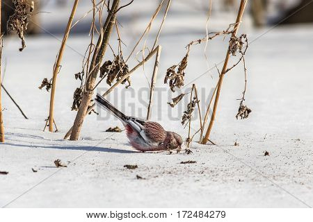 Long-tailed rosefinch (Uragus sibiricus) eats seeds weed