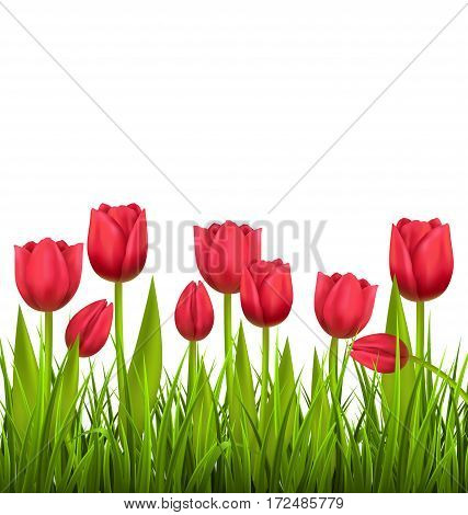 Green grass lawn with red tulips isolated on white. Floral nature flower background
