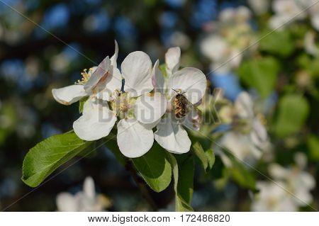 Bee collecting nectar and pollen on the apple-tree flower