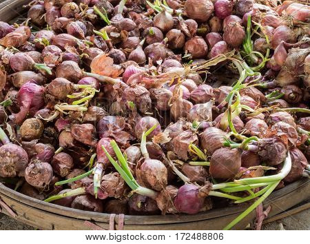 Shallots in basket, Shallots are grown, spice