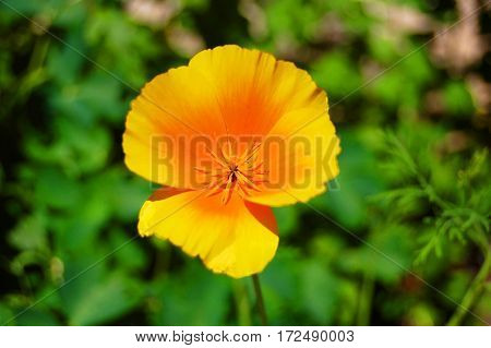 Beautiful fresh california poppy in rural flowerbed