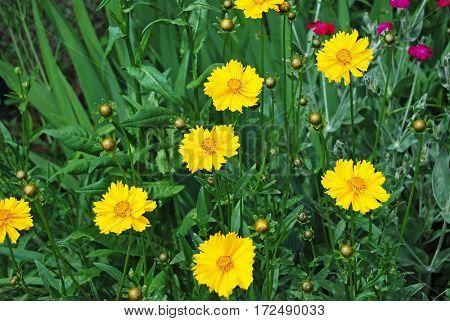 Yellow Coreopsis Flower