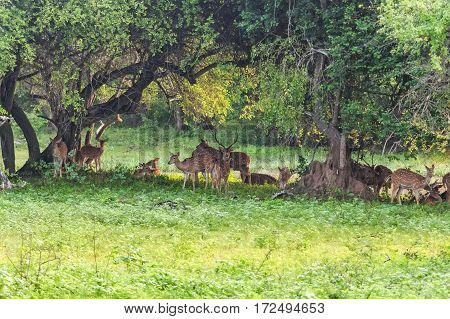 Herd of spotted deer or chital known as Axis foraging in forest of Yala national park in Sri Lanka