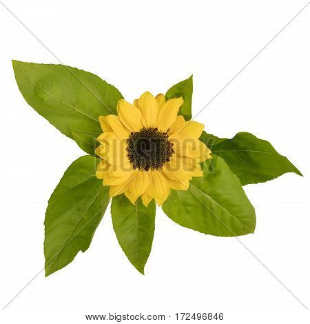 A photo of a shiny yellow sunflower with green leaves, isolated on white