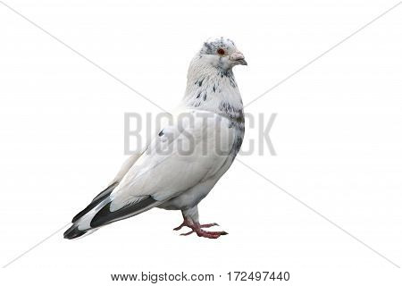 Noble white dove isolated on background close. Bird of peace - a symbol of purity and goodness. Wild feathered pigeon.