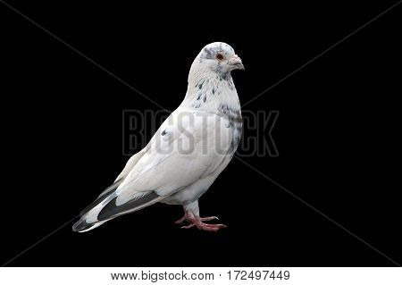 Noble white dove isolated on a black background close. Bird of peace - a symbol of purity and goodness. Wild feathered pigeon.