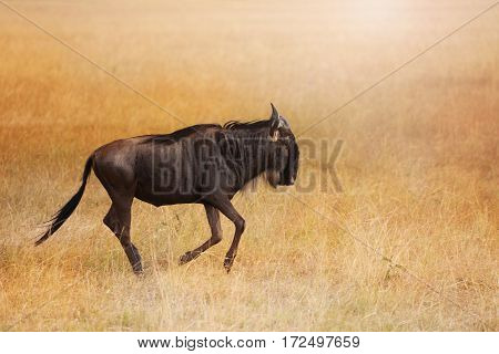 A blue wildebeest walking alone in dry grassland of Kenyan savannah, Africa