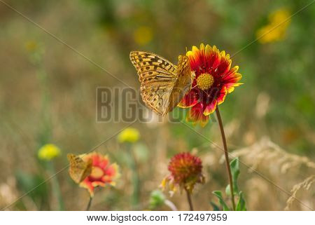 Summer wild field with feral Indian blanket flowers and butterflies.