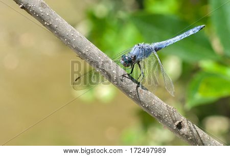 Eastern Pondhawk dragonfly is taking a short rest on a branch.