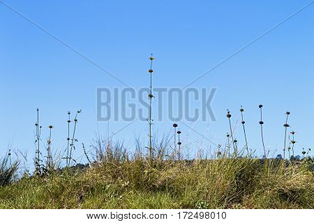 Close-up of long tall plant stems and green grass against blue sky in South Africa