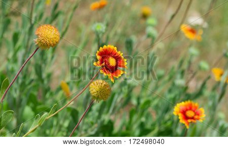 Beautiful Feral Indian blanket flower with friends in a summer wild field.
