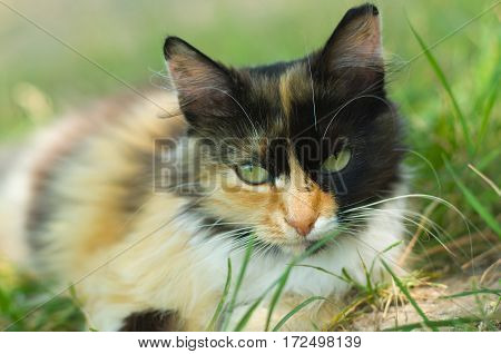 Close-up portrait of three colored cat laying in the grass and looking seriously.
