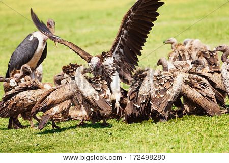 Vultures flock and marabou eating carrion, Masai Mara national Reserve, Africa