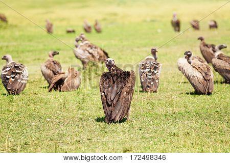 White-backed vultures herd having rest on a grassland at Kenyan savannah, Africa