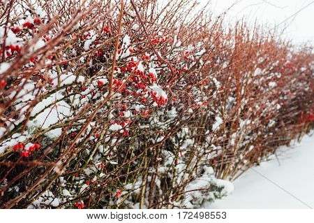 A Rose Bush In The Winter, Covered With Frost.