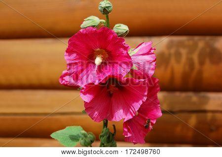 Beautiful Malva Flower