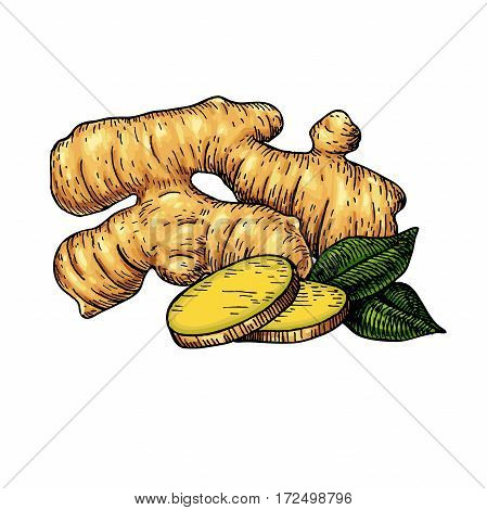 Ginger root vector hand drawn illustration.  Root and sliced pieces . Artistic style colorful flavor drawing. Herbal spice. Detox food ingredient.