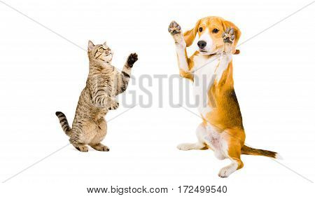 Beagle dog and cat Scottish Straight playing together, isolated on white background