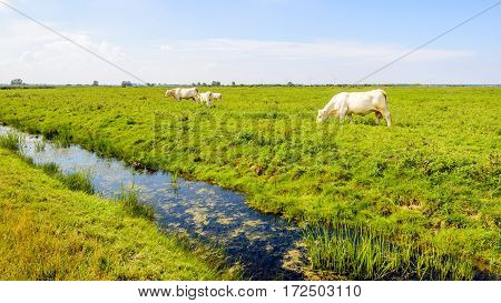 White cow family grazing in a Dutch nature reserve on a sunny day in the summer season.