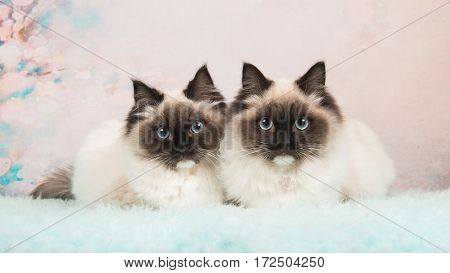 Two almost identical rag doll cats lying next to each other on a soft colored romantic background