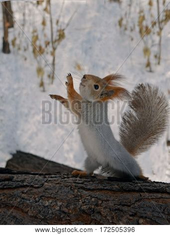 Grey squirrel dancing on a log in the winter