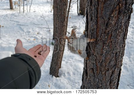 Squirrel on the tree and human's hand with nuts. Feed animals